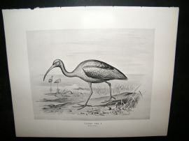 Frohawk 1898 Antique Bird Print. Glossy Ibis